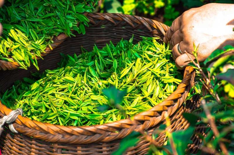 Puis-je boire du thé vert pendant ma grossesse ?